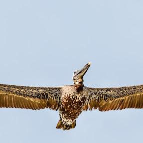 Pelican by Reshmid Ramesh - Animals Birds ( bird, fly, sea, pelican, animal )