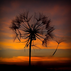 Magical Nature by Svetlana Micic - Nature Up Close Other plants ( sky, nature, danedlion, magical, colors, goat beard, landscape )