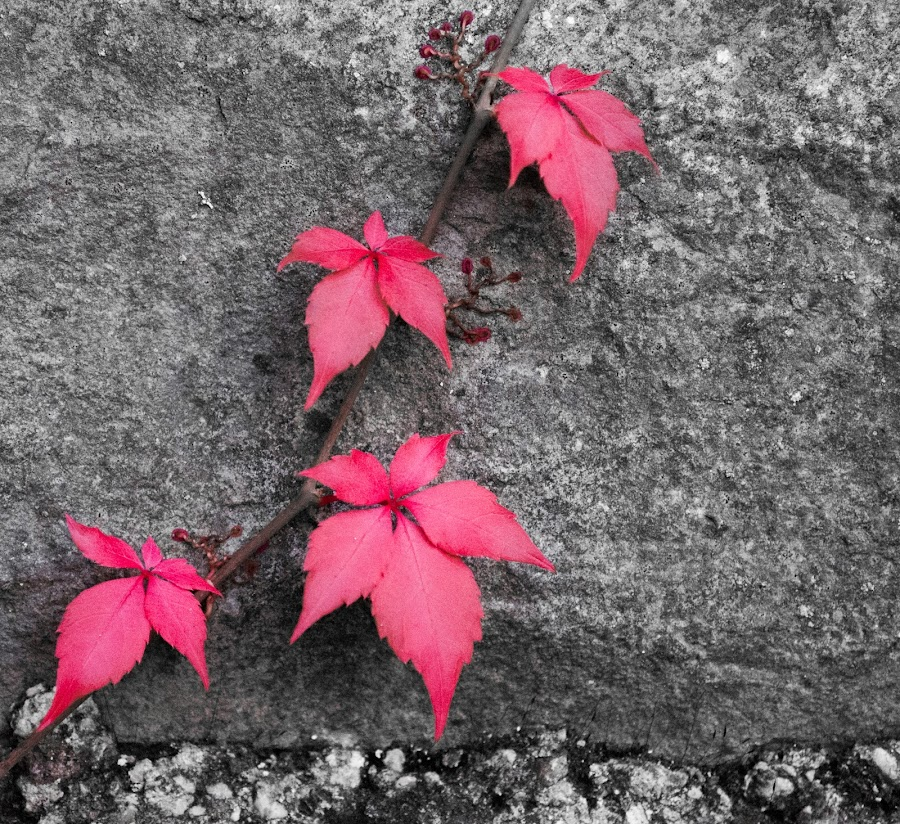 happy red leaves by Nina Kriznic - Nature Up Close Leaves & Grasses ( up close, red, nature, leaf, leaves,  )
