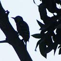Stripe-breasted woodpecker