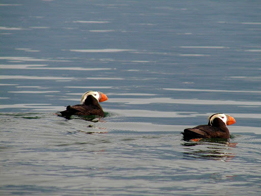 Glacier-Bay-puffin-swim - Swimming puffins in the waters of Glacier Bay National Park, Alaska.