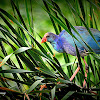 The Purple Swamphen