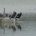 Corvo-marinho-de-faces-brancas