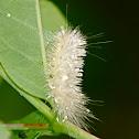 Virginian Tiger Moth Caterpillar ?