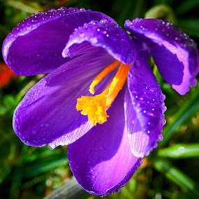 by Marco Bertamé - Flowers Flowers in the Wild ( water, wild, orange, purple, petals, crocus, yellow, wide, spring, close-up, dops, droplets, open, macro, season, shadow, sunshine, raindrops, shower, light, rain, opened,  )