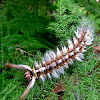 Lappet Moth Caterpillar