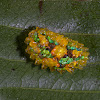 Jewel caterpillar of a dalcerid moth