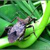 Acanthocoris Coreid Bug