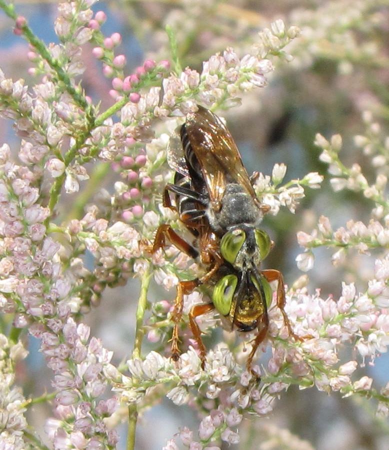 Sand-loving wasps (pair)