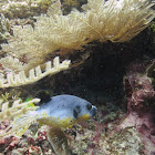 Black Spotted Puffer fish