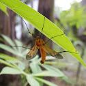 Orange Crane Fly