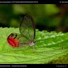 Ghost butterfly / Mariposa fantasma
