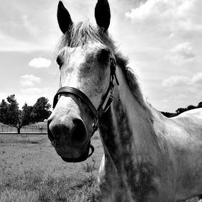 Horse in Black and White by Regina Watkins - Animals Horses ( , black and white, animal )