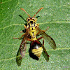 Yellow Brown Paper Wasp