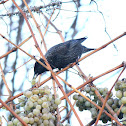 Common Starling/ European Starling