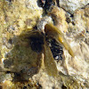 Brown algae / Jadranski bračić