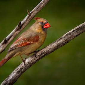 Mrs. C by John Finch - Animals Birds ( nature, wildlife, birds, portrait )