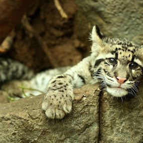 Clouded leopard cub by Selena Chambers - Animals Lions, Tigers & Big Cats ( leopard cub, clouded leopard cub, cub, clouded leopard, leopard )