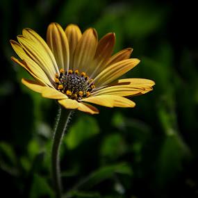 by Mario J - Flowers Single Flower ( daisy, yellow, light,  )