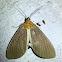 White Underwing Asota