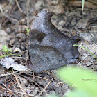 Evening Brown Butterfly (dry season form)