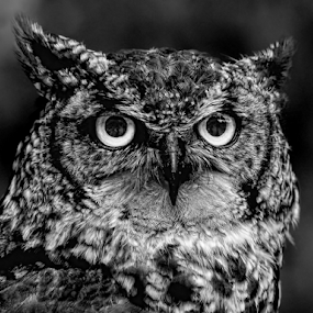 Glare by Philip McKibbin - Black & White Animals ( spotted, eagle, stare, glare, prey, frown, claws, feathers, predator, hunter, flight, talons, fly, wings, scowl, fierce, beak, owl, hunt )