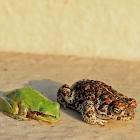 Natterjack Toad / Sapo-corredor