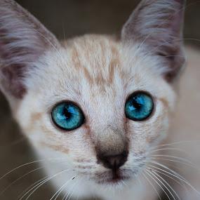 Blue Eyes' Jojo by ChenLin Kng - Animals - Cats Portraits ( potrait, pet photography, cat, cat eyes, blue, pet, cat portrait, blue eyes, potraits, animal )