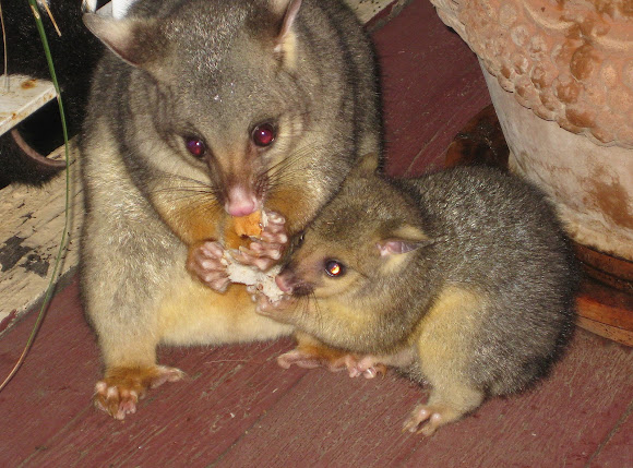 Common Brushtail Possum (mother & joey 2013) | Project Noah