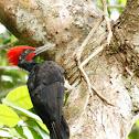 White-Bellied Woodpecker ♂