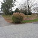 Pamas Grass