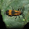 Net wing beetle