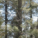 Mountain Sharptail Grouse