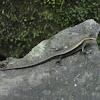 Bubuli or Sand Lizard