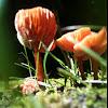 Small orange mushroom