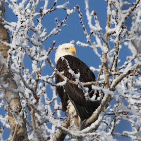 Winter Watcher by Denise Parker - Animals Birds ( animals, winter, birds )