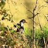 Eurasian Common Moorhen