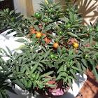Tomate enano, Tomatillo de Jerusalén, Capsicastro (solanum pseudocapsicum)