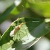 (Teneral) Leafhopper Assassin Bug