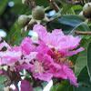 Giant Crepe Myrtle, Queen Flower, Pride of India