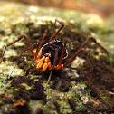 araña corazuda