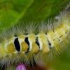 Pale Tussock moth (larva)
