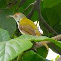 Common Tailorbird(ફૂત્કી)