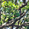 Red-necked Parrot
