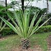 variegated century plant 金边龙舌兰