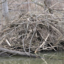 North American Beaver Lodge and Dam