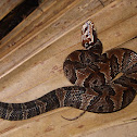 Florida Cottonmouth