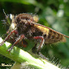 Robber fly eating a spittlebug