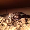 Red Western Diamond-Back Rattle Snake
