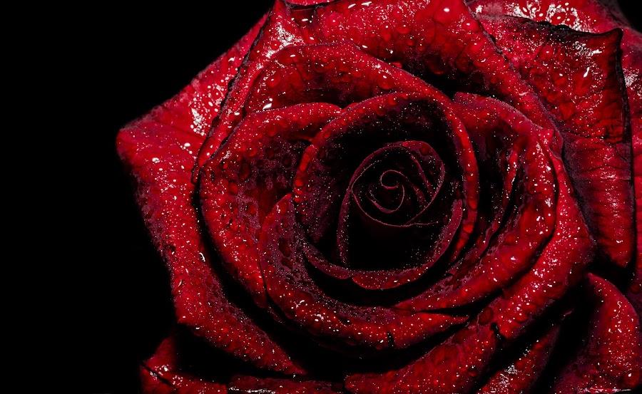 The Red Rose by Sreejith Babu - Flowers Single Flower ( rose, macro, water drops, nature, red rose, nikon, tamron, karnataka )